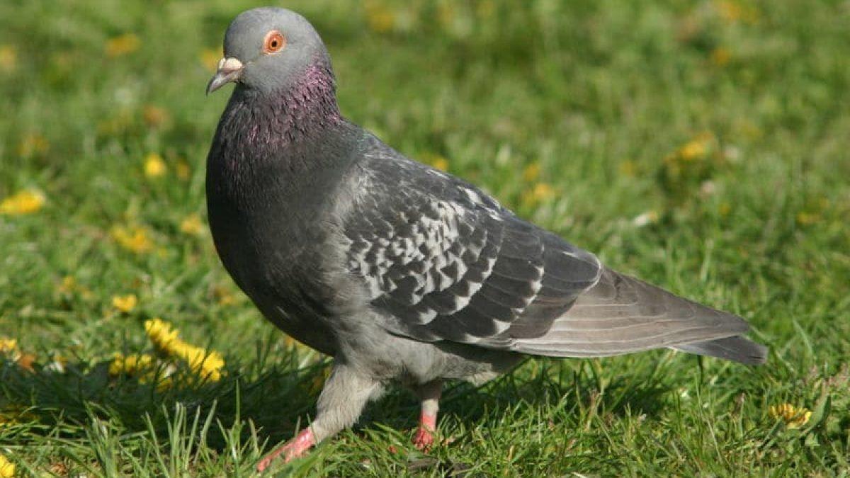 Comment Eloigner Les Pigeons Les Repulsifs Naturels